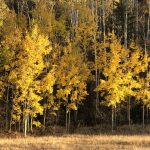gold aspen trees